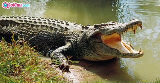 Nằm mơ thấy cá sấu là điềm gì?