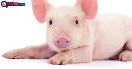 Ngủ mơ thấy lợn đánh số mấy?